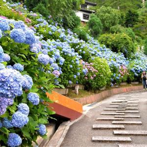 紫陽花 / 京都・善峯寺