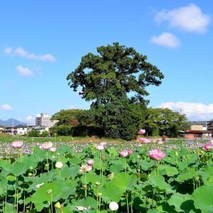 ホテイアオイ / 奈良・本薬師寺跡