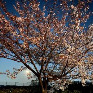 夜桜と満月~王子はタンドリーチキンな気分?~