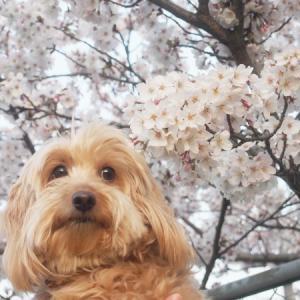 5回目の桜