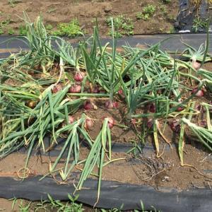 玉ネギとニンニクを収穫しました