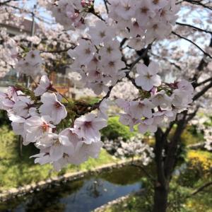さくら、桜、🌸 \(^o^)/