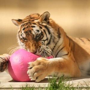 チョコとピンクのボール