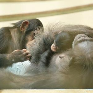 世界チンパンジーの日