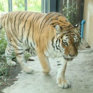 円山動物園のトラとユキヒョウ