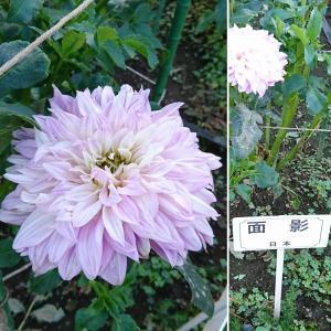 ダリアのお花見 パート2 ❀(o^―^o)✨