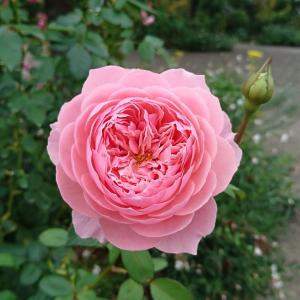 秋薔薇とお買い物用品~(o^―^o)