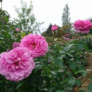 薔薇のお花見と妊娠6ヵ月検診結果~✨