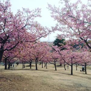 🌸 河津桜のお花見 🌸