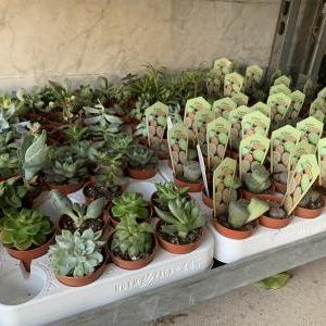 アンマンの観葉植物店