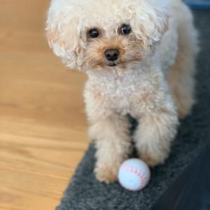 トイプードルはボール遊びが好き。