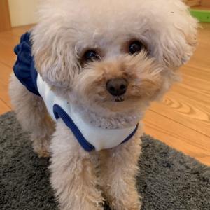 トイプードルモコ、楽天市場で犬のおしゃれな服を探しています。