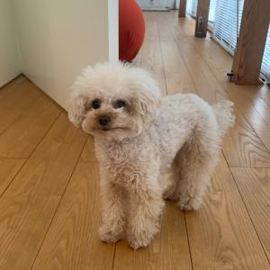 【犬の病気】トイプードルのコレステロール値が高いとどうなるの?