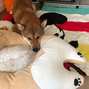 柴犬まこ(我が家に来て1076日目)2019.11.8(金)