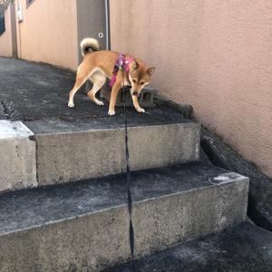 柴犬まこ(我が家に来て1078日目)2019.11.10(日)