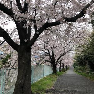 桜満開?!(3月31日)