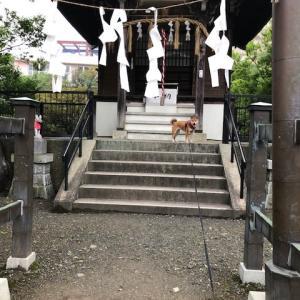 柴犬まこ(我が家に来て1313日目)2020.7.2(木)