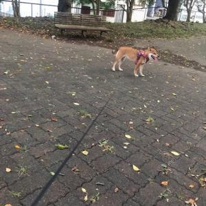 柴犬まこ(我が家に来て1353日目)2020.8.11(火)