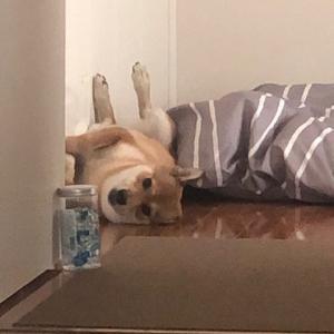 柴犬まこ(我が家に来て1354日目)2020.8.12(水)