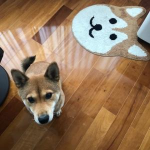 柴犬まこ(我が家に来て1417日目)2020.10.14(水)
