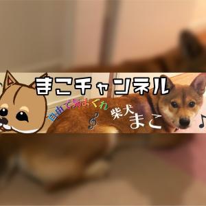 柴犬まこ(我が家に来て1431日目)2020.10.29(木)