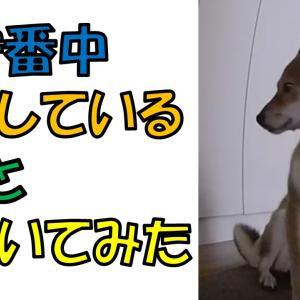 柴犬まこ(我が家に来て1639日目)2021.5.25(火)