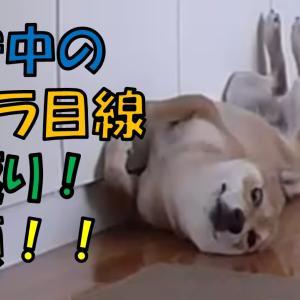 柴犬まこ(我が家に来て1659日目)2021.6.14(月)