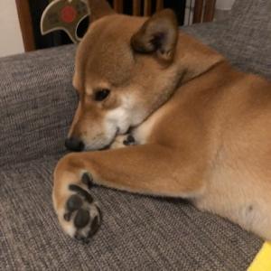 柴犬まこ(我が家に来て1698日)2021.7.23(金)