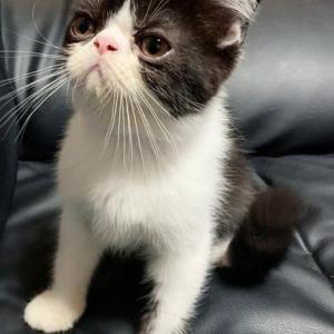 エキゾチックの子猫ちゃん