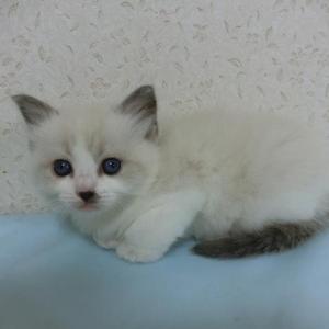 ラグドールの子猫ちゃん