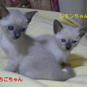 シャムの子猫ちゃん