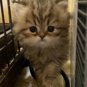 ペルシャの子猫ちゃん