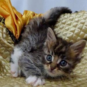 メインクーンの子猫ちゃん