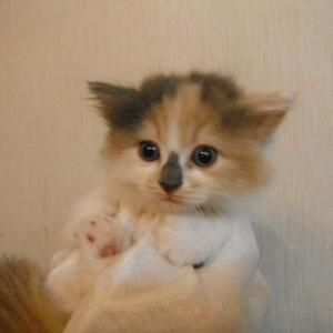マンチカンの子猫ちゃん