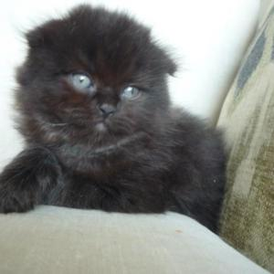 スコティッシュフォールドの子猫ちゃん