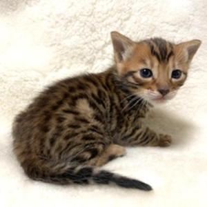 ベンガルの子猫ちゃん