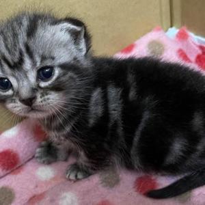 アメリカンショートヘアの子猫ちゃん