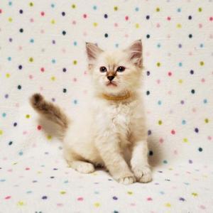 バーマンの子猫ちゃん