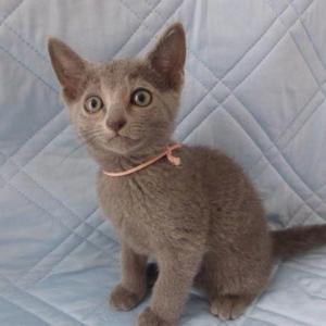 ロシアンブルーの子猫ちゃん