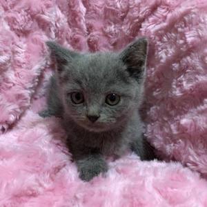 プリティッシュショートヘアの子猫ちゃん