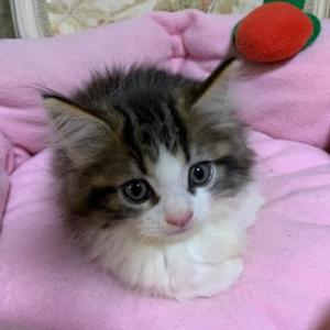 ノルウェージャンフォレストキャットの子猫ちゃん