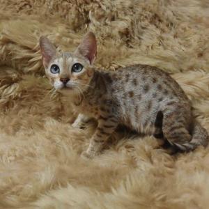 サバンナの子猫ちゃん