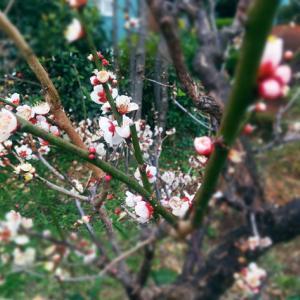 梅の花、桃の花