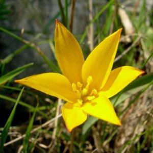 チューリッパ・シルヴェストリス・アウストラリス Tulipa sylvestris australis