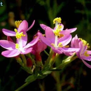 ケンタウリウム・エリサラエア Centaurium erythraea