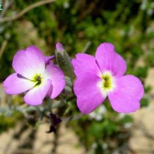マルコルミア・リットレア Malcolmia littorea