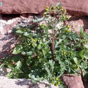 セネキオ・ヴルガリス senecio vulgaris