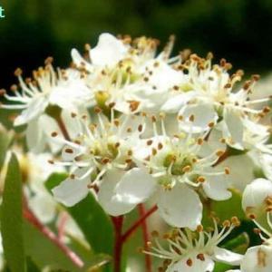 コトネアステル・フリギドゥス Cotoneaster frigidus