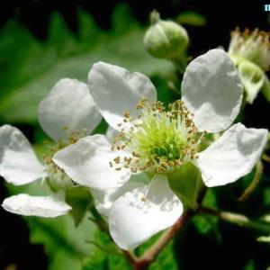 ルブス・カエシウス Rubus caesius