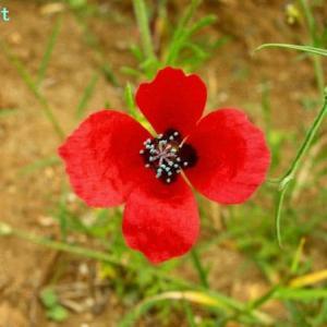 パパヴェル・ヒブリドゥム Papaver hybridum